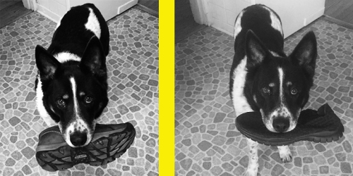 "A testament to positive reinforcement is Jake, sent in by owner Debra R. Observe Jake (left) with a ""stolen"" shoe, and Jake (right) after six months of training. Note on the right his contrition, repentance, and smoldering regret. Also the smaller shoe. Well done, Jake!"